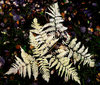 Fern leaf in autumn