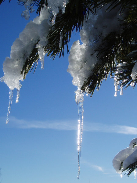 Icicle: Icicles from a tree