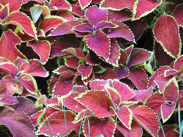 Free stock photos rgbstock free stock images red leaves red leaves a red leaves texture mightylinksfo
