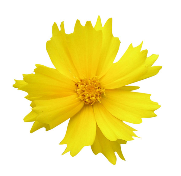 Yellow flower: Just a yellow flower cutout.