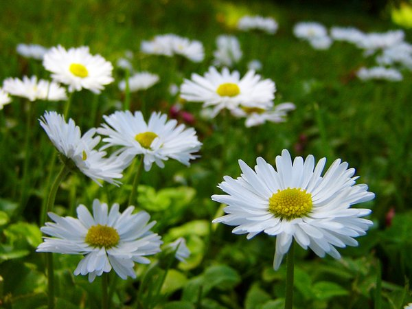 Shade: daisies in the shade