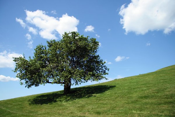 Loner II: Lone tree on Citedel Hill, Halifax, Nova Scotia, Canada