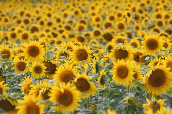 Fields of Gold: summer sunflowers surround us