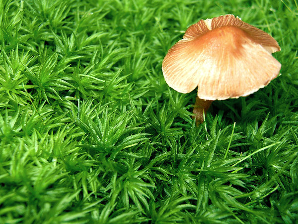 Little Mushroom: I found this little mushroom poking through some weird grass stuff in the woods, I had to use a flash because the tree cover was thick. I am not sure if it is usable, but it's different. :-)