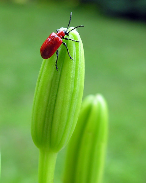 Red Bugger: I like the contrast of this bug against the green background.