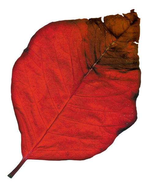 Poinsettia Leaf 1: A couple of poinsettia leaves.Please visit my gallery at:http://www.stockxpert.com ..