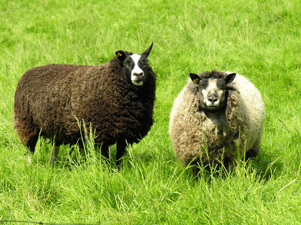 Sheep: 2 sheep in a Dutch grassland.