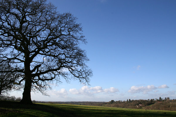 Winter landscape: A single oak (Quercus robur) tree on the hills of the High Weald, West Sussex, UK, on a mild day in winter.