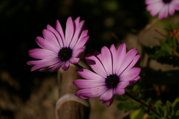 Flowers: Beautiful flowers from our garden (Margueritter - Chrysanthemum frutescens)