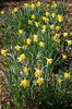 Wild daffodils