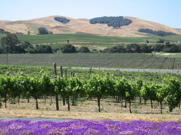 Napa Valley Vineyards: One of the vine growing areas in the Napa Valley, California,USA