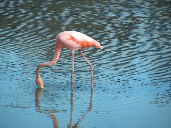 flamingo: photo taken in Galapagos