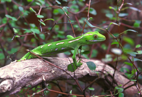 green lizard: Alert green lizard still on a log