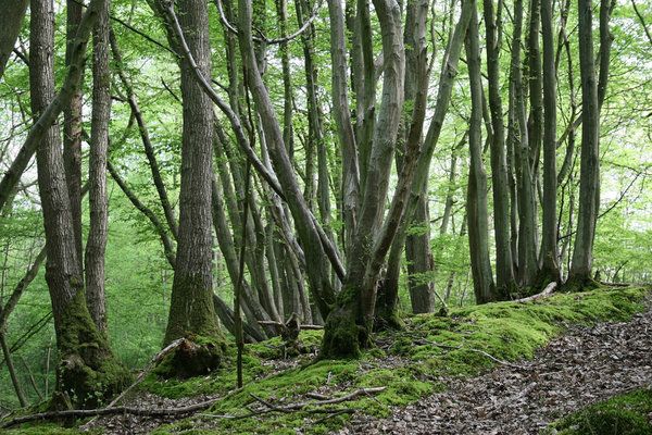 Eerie woodland: Woodland with a slightly creepy feel in West Sussex, England.