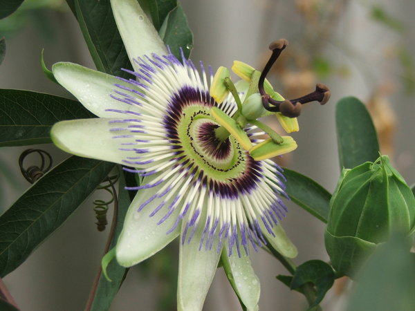 alien flowers: passion fruit flower - blue passion flower