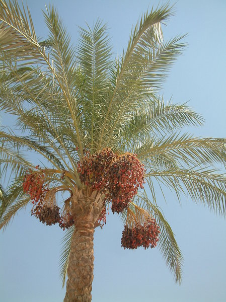 dates 1: date palm in Egipt