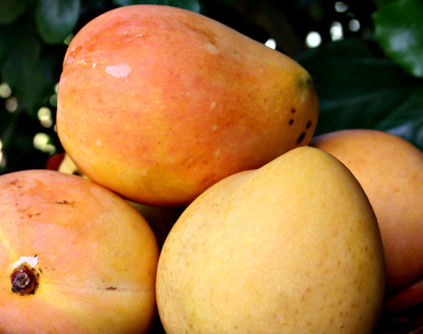 sweet mangoes: several ripe golden mangoes