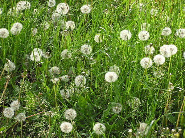 Dandelion meadow: A meadow with dandelions.