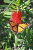 Flitting monarch