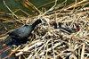coot nestlings