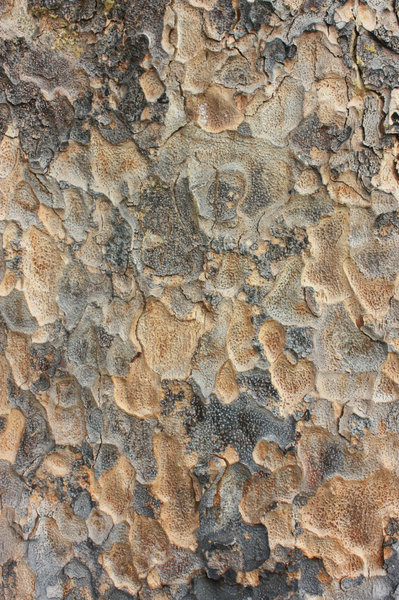 Tree texture: Interesting tree trunk texture