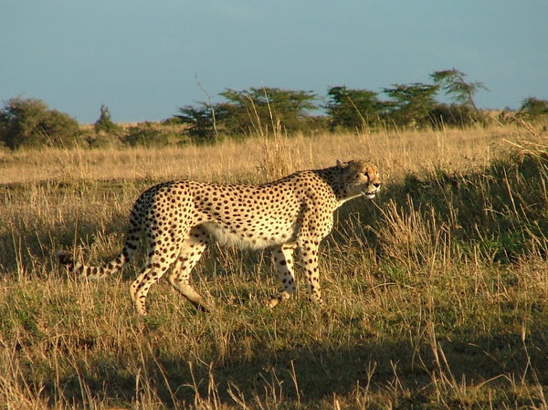 Cheetah: Cheetah walking in the early morning (Masai Mara, Kenya)