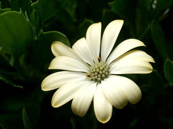 White margerit: White Spanish margerit.