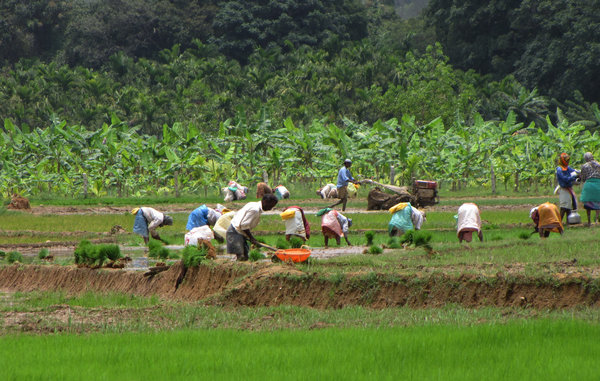 Planters in the Paddy field: no description