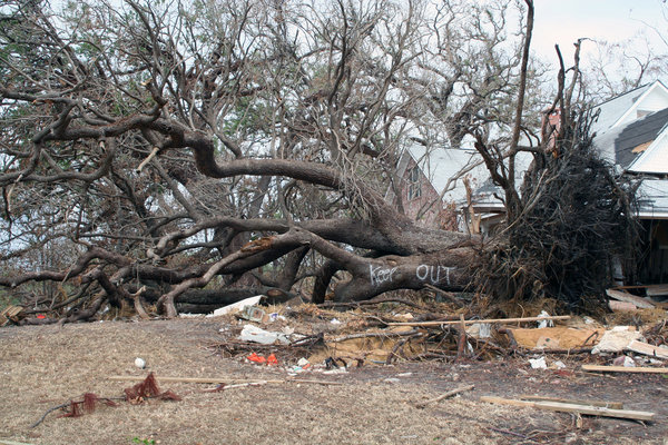 KATRINA 10: LARGE OAK TREE UPROOTED BY KATRINA