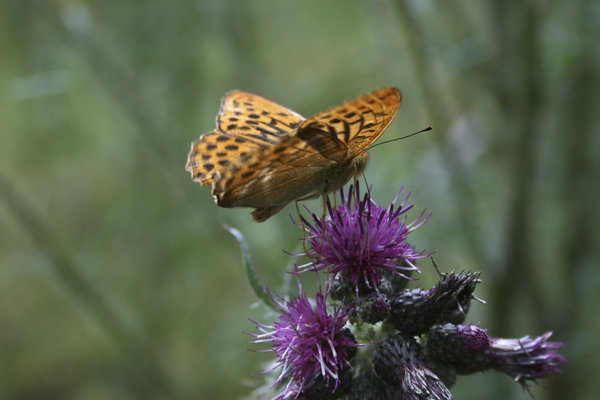 Fritillary butterfly: A silver-washed fritillary butterfly (Argynnis paphia) feeding on a thistle head in West Sussex, England.