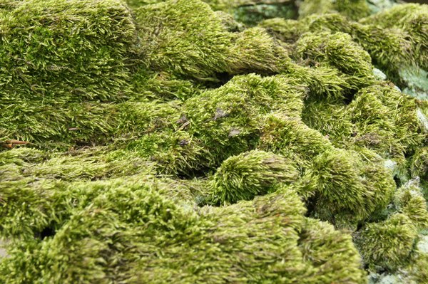 moss texture: moss living on tree bark