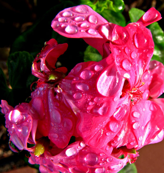 pink geranium raindrops: rain drop covered pink garden geranium or pelargonium,