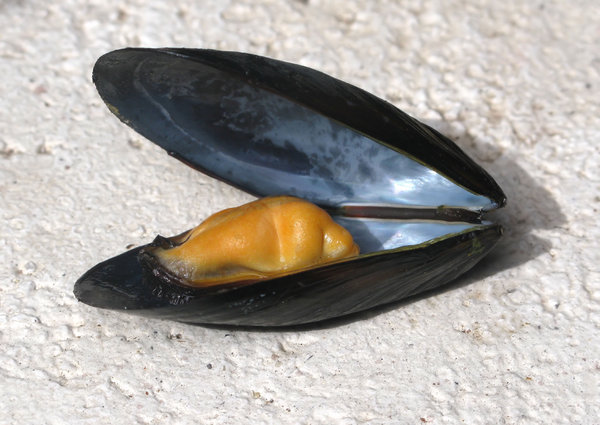 mussels: none