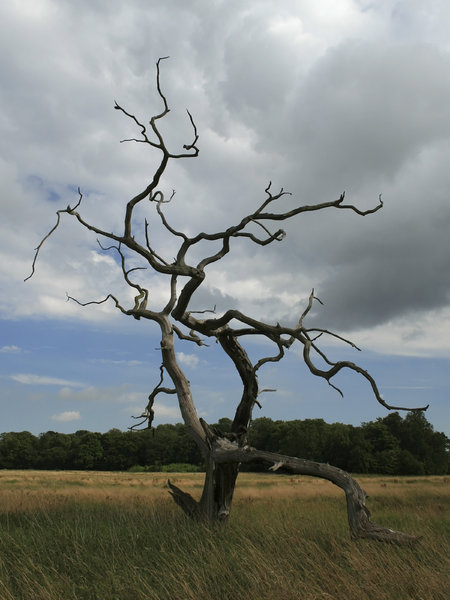Twisted tree: A strangely twisted dead tree in West Sussex, England.