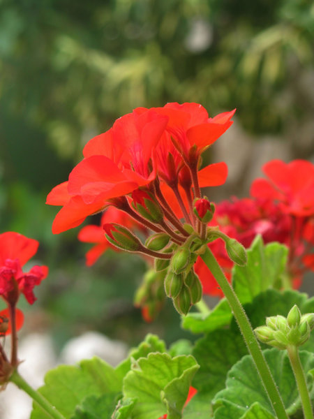 red pelargonuim: none