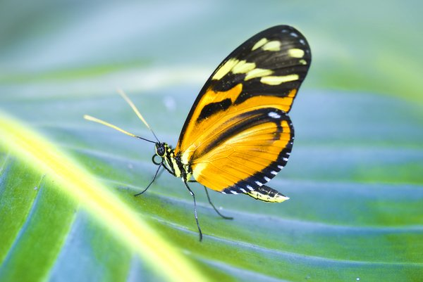 Orange butterfly: butterfly on banana leaf
