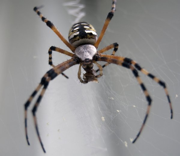 Save it for later: Golden garden spider balances on her web as she shrinkwraps her prey
