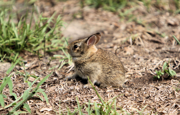 Baby Rabbit: About a 2 month old baby rabbit I had in my frontyard recently coming home from work. The mother was close by under a bush.