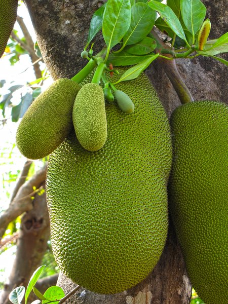 Jackfruit: no description