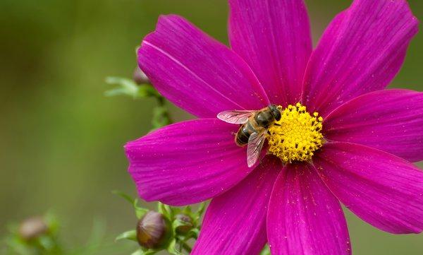 Bee on flower: summer macro of a bee on a flower