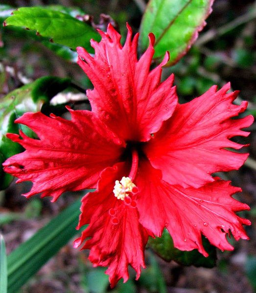 frilly red brilliance: bright red fancy frilly petaled hibiscus