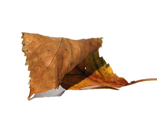 autumn leaf: none