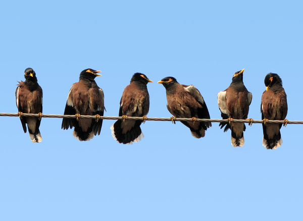Half a dozen Mynas: One very chatty bird gave me a lot of material to play with. All I had to do was sit still and shoot the different poses. I had this idea when I saw this bird 3 & a half years back. It's time had finally come now :)