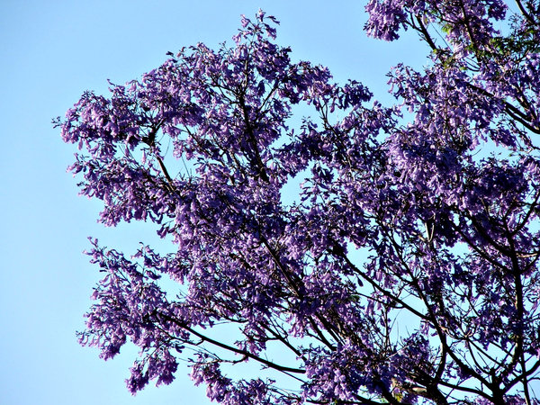 Jacaranda purple: heavy flowering purple-blue Jacaranda tree