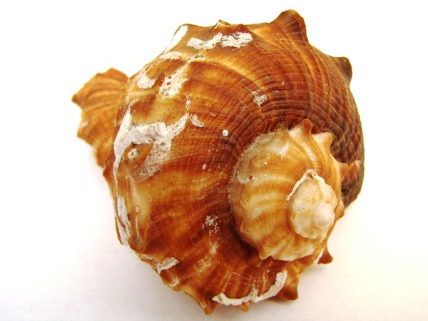shell: sea shell on white background