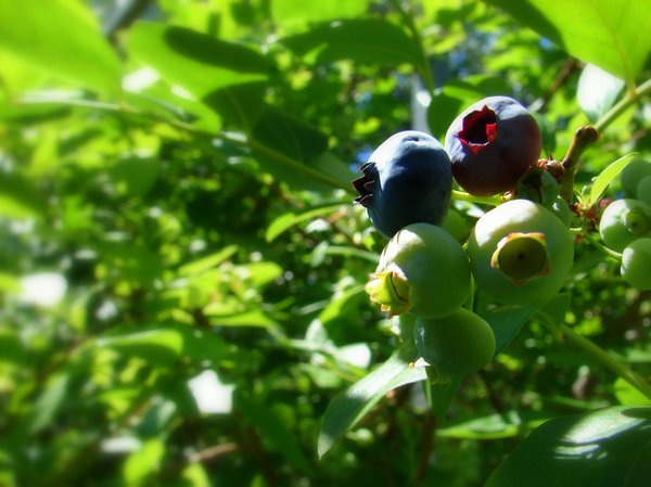 Blueberries: Blueberries growing in the garden