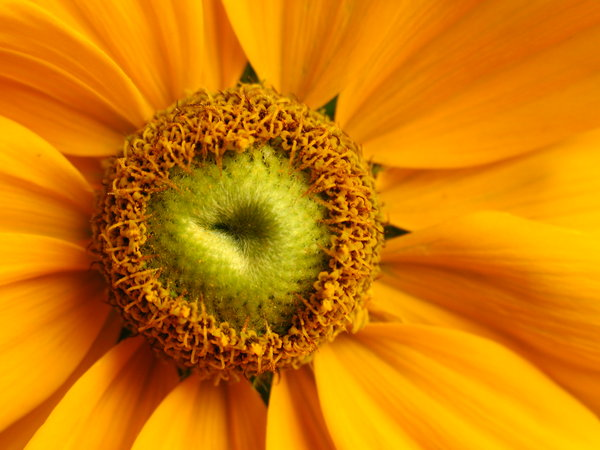 Summer gold: Macro shot of yellow daisy