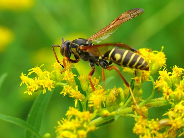 Floating on Goldenrod: Yellow jacket wasp
