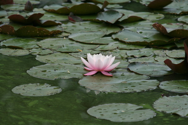 colour-point 3: water-lily