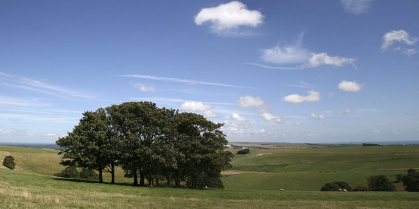 South Downs valley: A green valley, with a copse of trees for sheep to shelter under, on the South Downs, West Sussex, England.